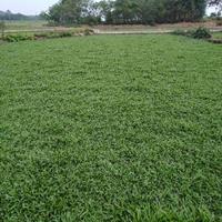优质大叶油草草皮,马尼拉草皮