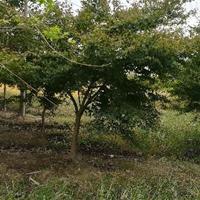 江西九江供應雞爪槭,雞爪槭價格