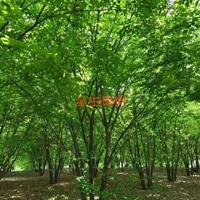 丛生榉树出售图片/丛生榉树出售报价