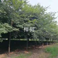 河南榉树批发/供应