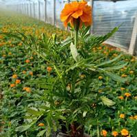 孔雀草種子多少錢一斤?