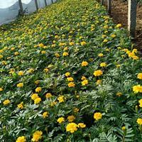 哪里有孔雀草種子多少錢一斤