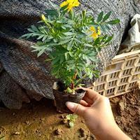 孔雀草的種子哪里能買到?