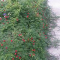 羽叶茑萝种子多少钱一斤,羽叶茑萝种子批发价格