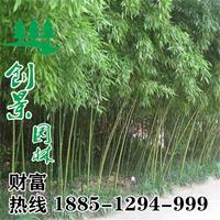 常年大量供应优质凤尾竹、规格齐全、基地直销