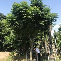 基地直销  台湾栾树批发 台湾栾树报价 多规格 出售各种绿化