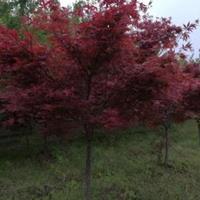 供應安徽紅楓  日本紅楓