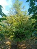 水杉,国槐,合欢,樱花,红叶梨,白蜡