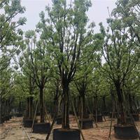 全冠香樟苗 香樟树移植苗 香樟基地价格 香樟批发