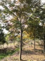 10—12公分榉树