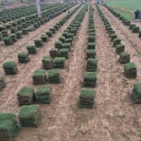 习水地区供应马尼拉草皮草卷台湾二号草皮草卷
