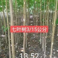 七叶树杜仲丝棉木小苗3-8公分