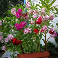 凤仙花种子多少钱一斤,凤仙花种子批发价格