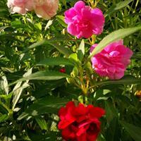 凤仙花种子一公斤撒多少平方?