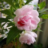 一亩地需要多少斤凤仙花种子?