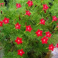 四季开花不断爬藤花卉植物种子羽叶茑萝种籽室外花籽春季攀爬花种
