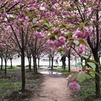 櫻花樹基地多少錢一棵、沭陽櫻花樹基地直銷