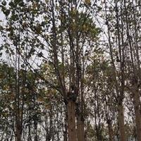 江西九江大量供应马褂木,马褂木价格,各种规格