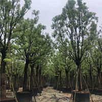 香樟树苗 香樟报价 大量供应香樟树 大香樟树产地 基地直销