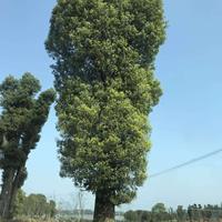 广西大香樟价格 介绍/特征/用途