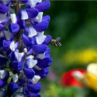 鲁冰花种籽子四季种开花不断易种活室内外庭院花卉植物盆栽羽扇豆