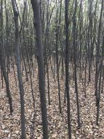 榉树入圃苗