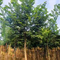 朴树 朴树报价 朴树小苗报价 朴树工程苗 朴树移植苗