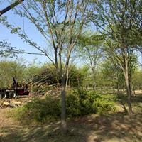 精品榉树 城市优质行道树用红榉树 5-18公分红榉树直销供应