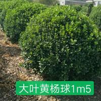 大叶黄杨球1m2---p2m