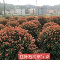 红叶石楠球p1,2m--p2m冠精品