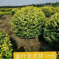 金叶女贞球p1,2m--p1,8m冠精品