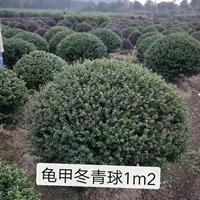 龟甲冬青球1m2