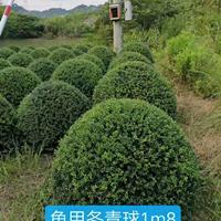 龟甲冬青球1m8