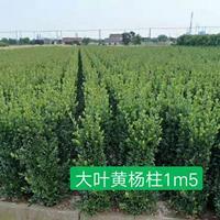 大葉黃楊柱H2m,p50cm冠以上
