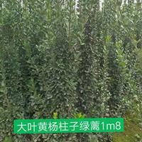 大叶黄杨柱头绿篱1m8