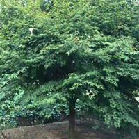 雞爪槭D6---d15cm