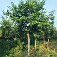 朴树价格 朴树种植基地 朴树报价 漳州批发朴树地苗移植苗