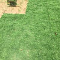 百喜草种子几月播种好?如何辨认百慕大草坪?