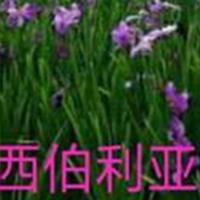 水生鸢尾、德国鸢尾等水生植物