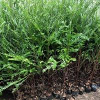 1.5公分1米5高南方红豆杉杯苗