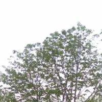 供应玉兰树、国槐、苦楝、合欢、乌桕、杨树、构树、枫杨