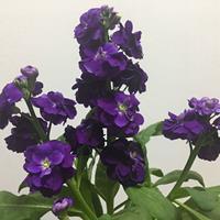 紫罗兰有毒吗?