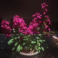 紫罗兰冬季枯萎吗?