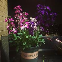 紫藤与紫罗兰的区别有哪些?