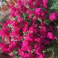 紫罗兰是宿根花卉吗?