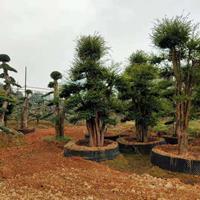大小规格造型赤楠 湖南造型树 长沙造型树基地基地