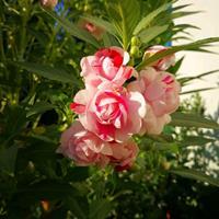 地被植物凤仙花种子多少钱一斤?