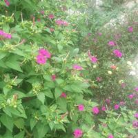 紫茉莉种子几月播种好?