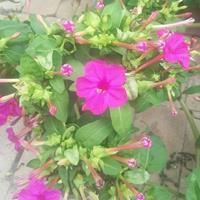 紫茉莉种子需要泡种吗?