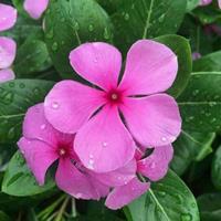 紫茉莉的种子哪里能买到?紫茉莉种子什么时间种?